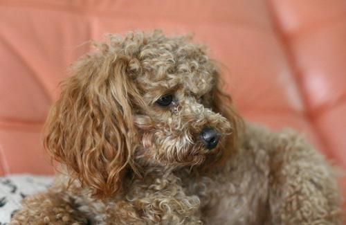 """贵宾犬,Poodle,也称""""贵妇犬"""",又称""""卷毛狗"""",在德语中,Pudel是""""水花飞溅""""的意思。"""