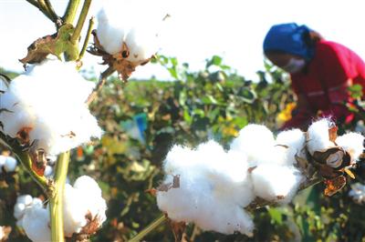广平县4.2万亩棉花争相吐絮