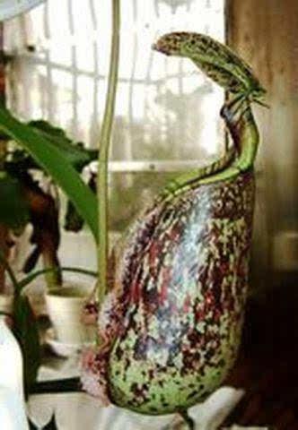 巨型猪笼草,一种能够吃老鼠的植物