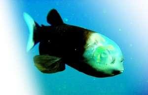 管眼鱼 美国家地理年度10大科学发现:管眼鱼居首