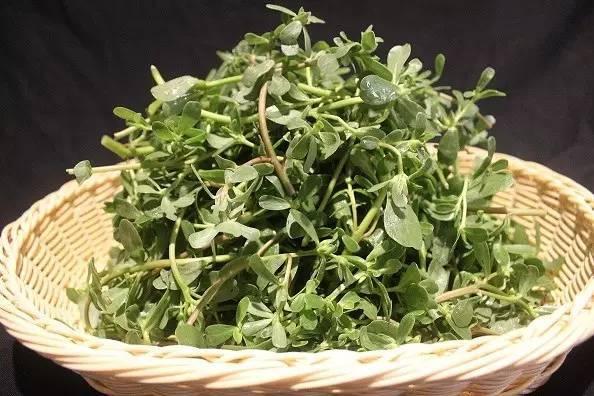 马苋菜的功效与作用 马齿苋的功效与作用及食用方法