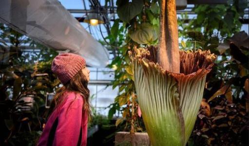 魔芋花 尸香魔芋花:世界上最臭的花
