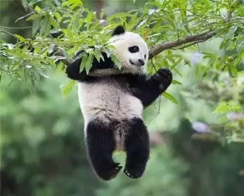 熊猫为什么只有中国有 大熊猫那么萌,为什么只有中国才有呢?