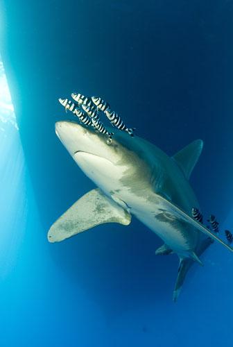 恐怖!世界五大最危险的鲨鱼揭秘