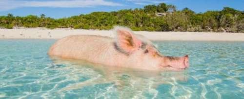 """猪游 活得不如狗?""""猪岛""""上小猪们的海岛生活也让人望尘莫及"""