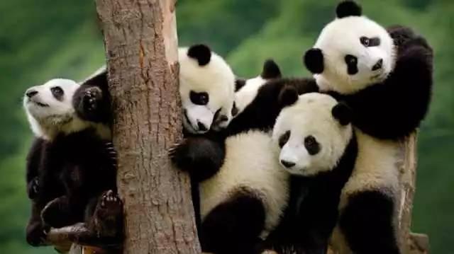熊猫为什么只有2017白菜网送彩金验证手机有 大熊猫那么萌,为什么只有2017白菜网送彩金验证手机才有呢?