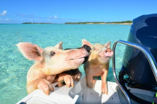 """猪游 活得不如狗?""""猪岛""""上小猪们的海岛2017免费送白菜彩金也让人望尘莫及"""