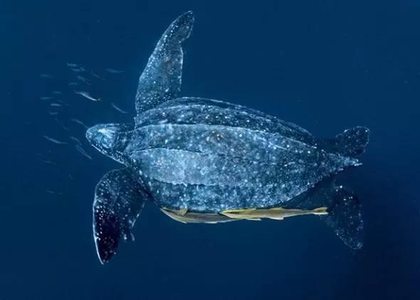 棱皮龟 看棱皮龟如何成为海龟中的特殊分子