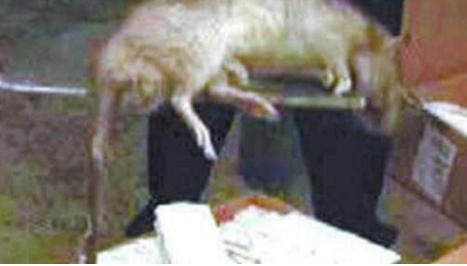 美国的变异老鼠,身长92厘米,再也不用怕猫了