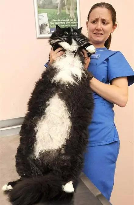 最大的猫:不小心从一只猫,养成了一头猫