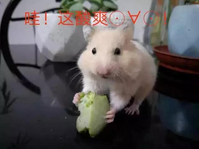 金丝熊吃什么 爱上吃植物的金丝熊...
