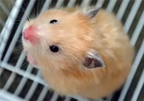 仓鼠怎么确定死了 仓鼠的寿命有多长?死前有什么征兆?