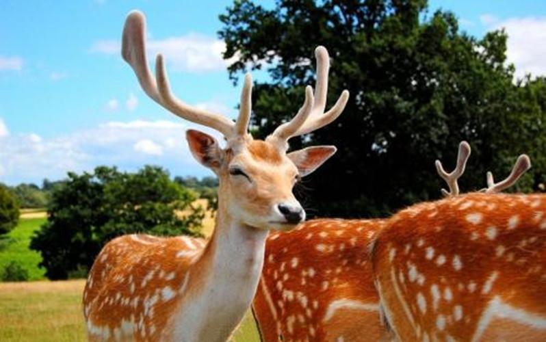 鹿的种类 地球上的鹿有多少种类