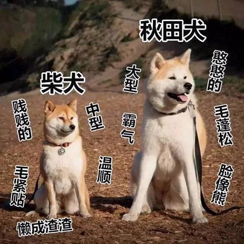 柴犬和秋田犬的价格 终于整明白了!秋田犬和柴犬的8大区别