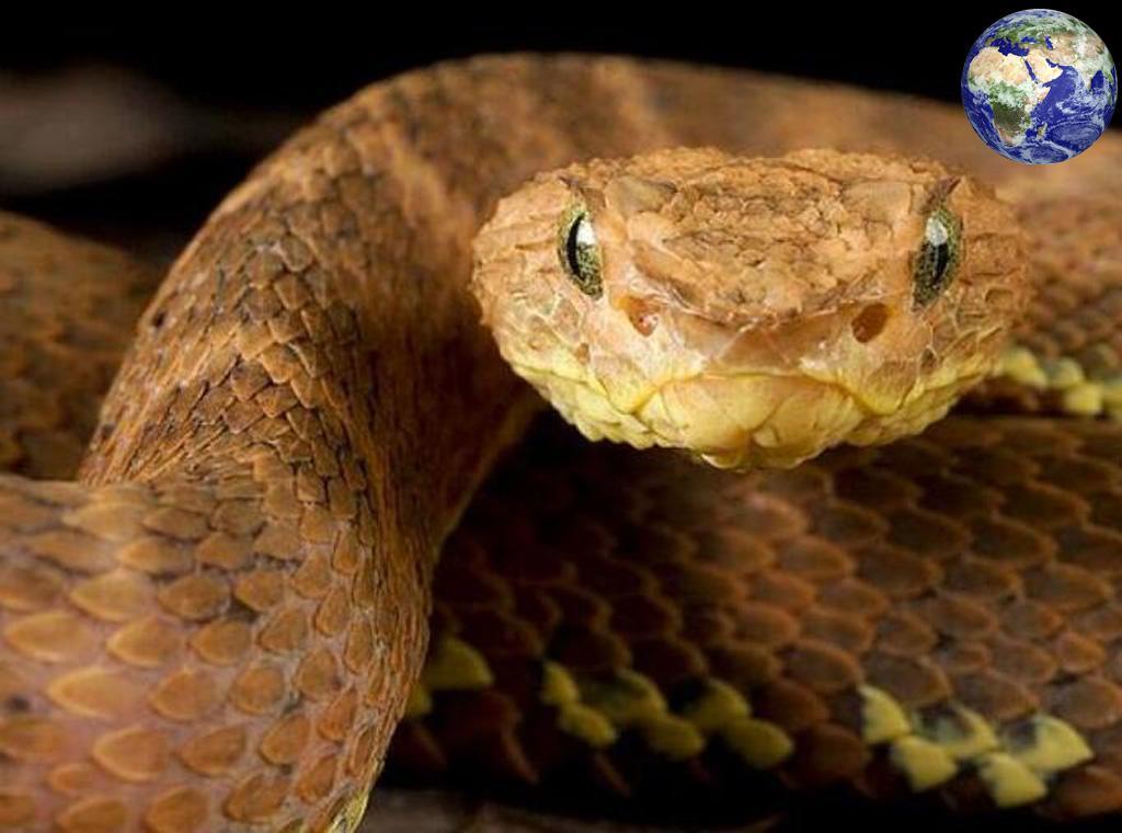 蛇的眼睛 世上最古怪的蛇,眼睛上长着角剧毒无比常致人死亡