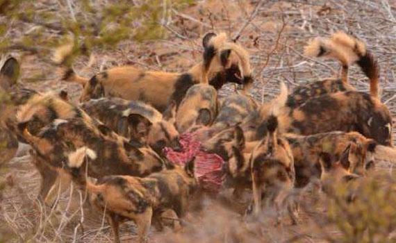 """野狗为什么讨厌鬣狗 因为鬣狗知道""""狗外有狗""""了"""