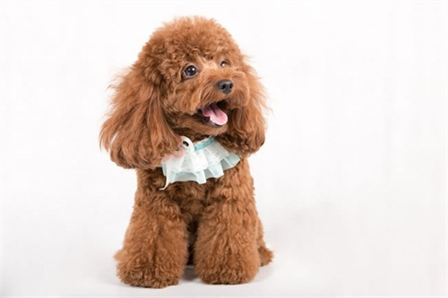 母犬生殖器系统图片 泰迪母狗舔自己屁股,母泰迪2岁一直舔生殖器