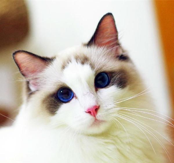 家猫品种 养什么猫好,什么品种的猫好养?最受欢迎的猫咪