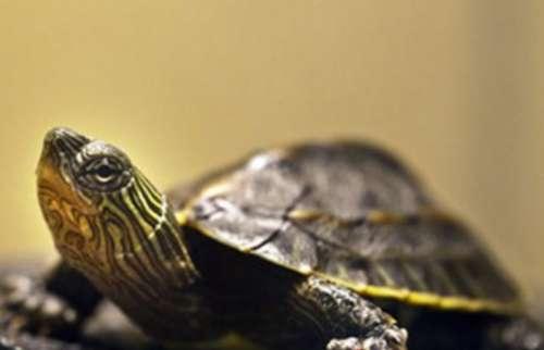珍珠龟能长多大 珍珠龟是陆龟还是水龟 珍珠龟多大下蛋