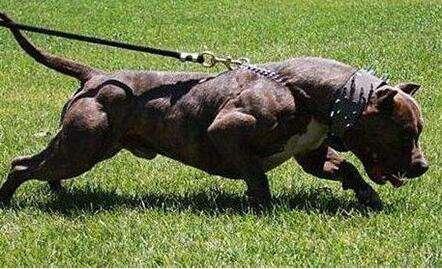 世界十大猛犬 世界十大猛犬排名,西藏鬼獒只能排第二