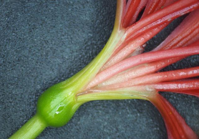 老鸦蒜 石蒜:花开不见叶,须比头发长