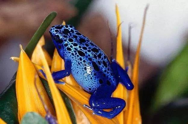 箭毒蛙 大型箭毒蛙之钴蓝箭毒蛙