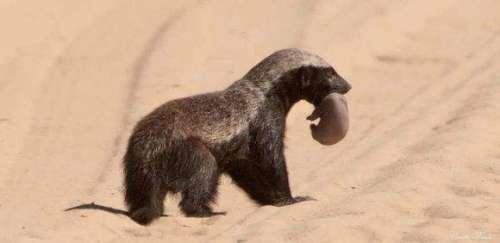 平头哥蜜獾为何那么叼?蜜獾介绍