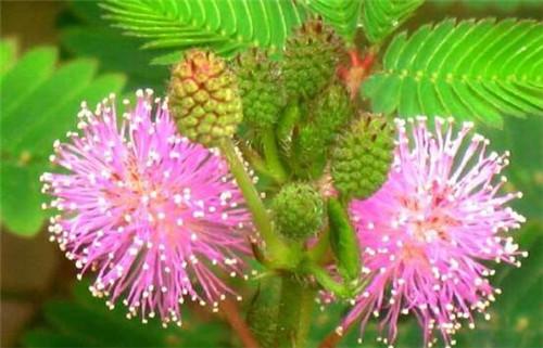 含羞草好养吗?会开花吗?