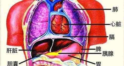 人体五脏六腑器官分布 五脏六腑都有哪些功能?