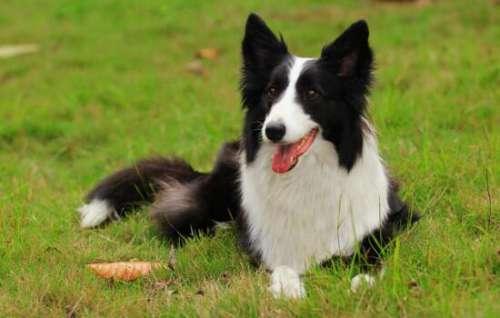 最聪明的狗狗排名 狗狗智商排名