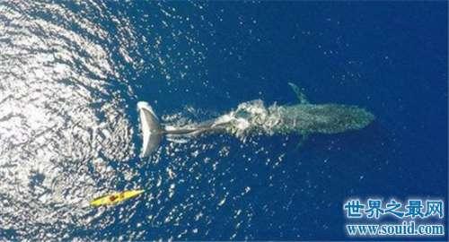 世界上最大的动物蓝鲸 它吃一顿竟然够我们吃几十年!