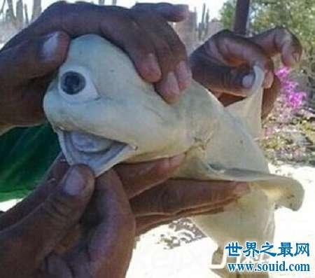 奇怪的独眼鲨鱼会吃人吗,和普通鲨鱼真的不一样