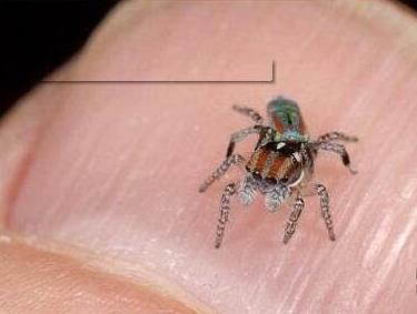 世界上最小的蜘蛛:展蜘蛛0.43毫米(图)