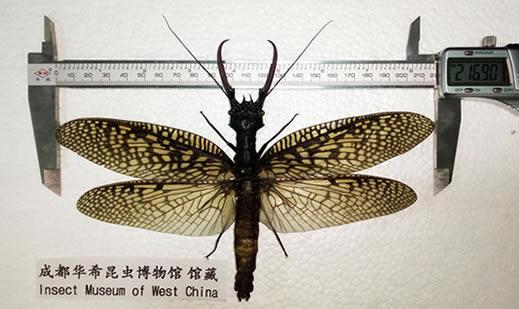 四川青城山惊现最大水生昆虫:世界最大(图)