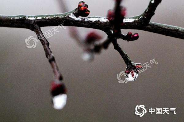 2月11日早晨,贵阳市地势较高处的植被仍覆有雨凇。图为新芽被冰封冻。石奎_副本.jpg