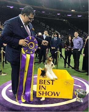 冠能冠军之选,成就非凡——第143届西敏寺犬展,King加冕纽约麦迪逊