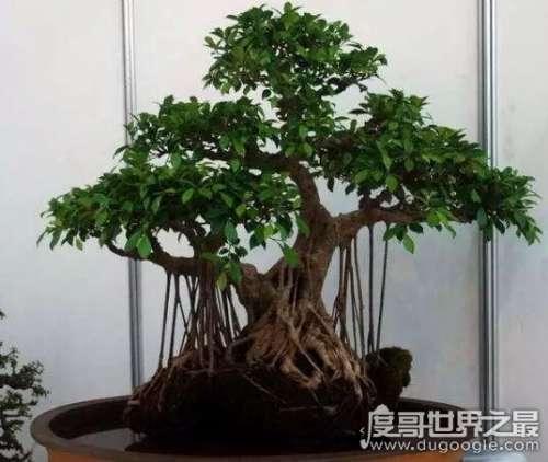 室内榕树盆景怎么养,榕树盆景的养殖全方面解析(轻松上手教程)