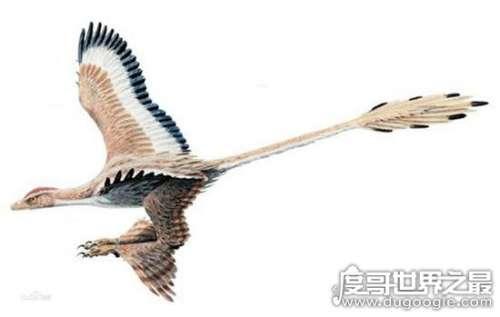 神奇的四翼鸟,只有吸引雌鸟时才露出它的四翼