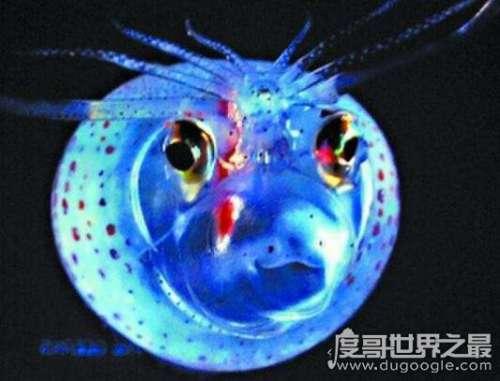 可爱小猪章鱼图片,浑身透明会发光的微笑萌物