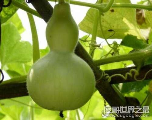 葫芦瓜与西葫芦的区别,极品蔬菜葫芦瓜的功效及吃法