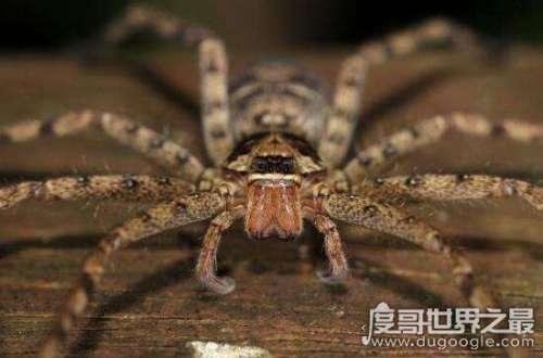 最大的室内蜘蛛,白额高脚蛛(无毒/专吃蟑螂)