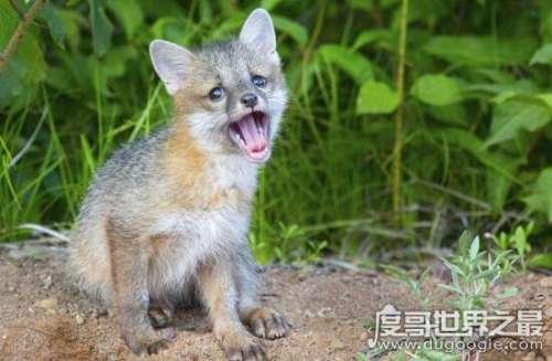 宠物狐狸好养吗,虽然可爱气味却骚的受不了