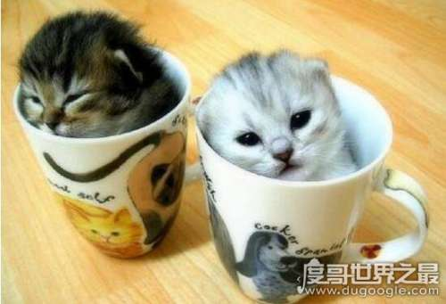 袖珍茶杯猫图片大全,萌翻你的超可爱小奶猫