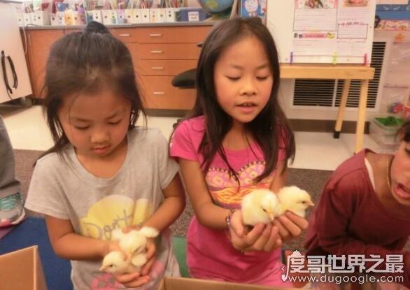 老师留作业孵小鸡,各位家长可愁坏了(奇葩作业再次引热议)