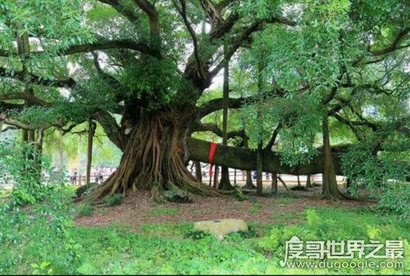 """风水学中的四大镇宅之树,罗汉松被认为是""""旺宅""""之首"""
