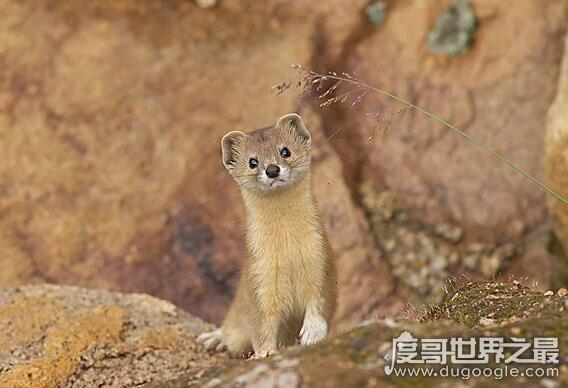 黄鼠狼附身科学解释,黄鼠狼附体是由气味影响的古怪幻觉