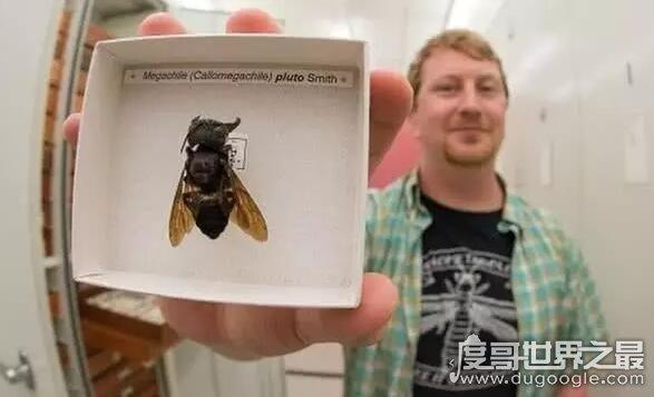 世界上体型最大的蜜蜂,华莱士巨蜂(伸展翅膀可达6厘米)