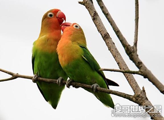 虎皮鹦鹉怎么分公母,看头和身形就可以分辨性别