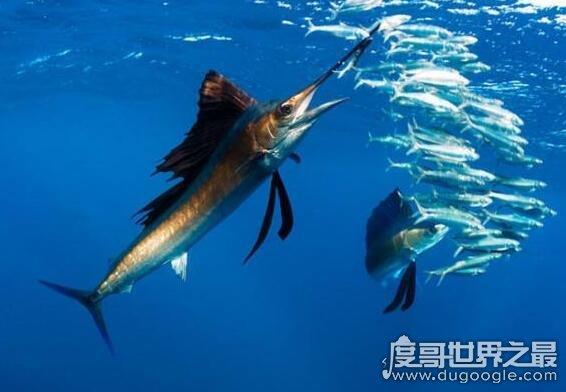 世界上速度最快的鱼,旗鱼190公里/小时(乃海中最快的动物)