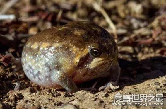 世界上最萌的青蛙,沙漠雨蛙圆滚滚的超可爱(也称馒头蛙)